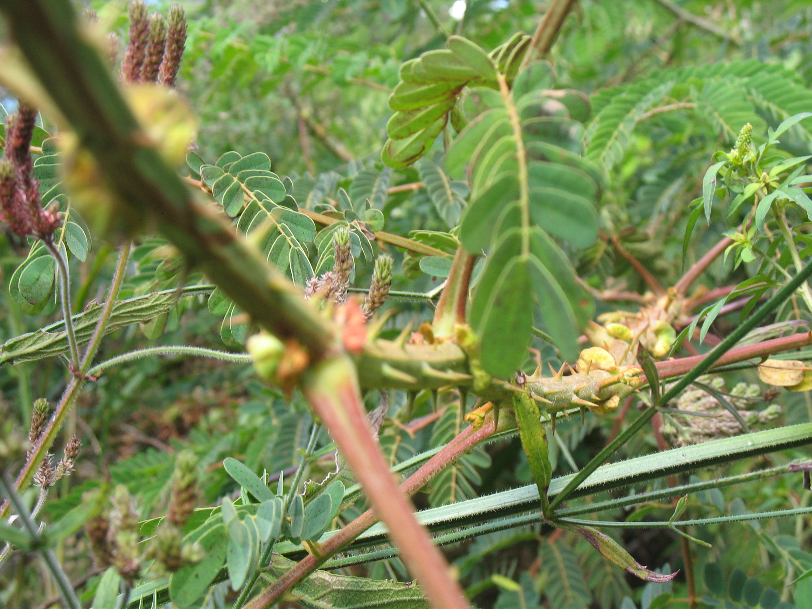Young Mysore Thorn actively growing